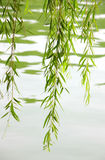 willow twig and leaves in spring Stock Photos