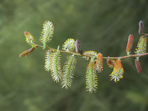 Willow twig with red and yellow catkins Royalty Free Stock Photo