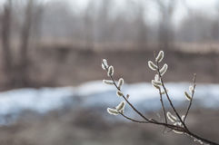 Willow twigs blurred background Royalty Free Stock Photo
