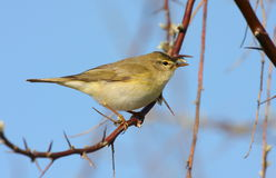 Willow warbler Royalty Free Stock Photo