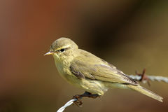 Willow Warbler. On barbed wire Stock Photos