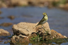 Willow Warbler Stock Image