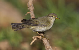 Willow Warbler. Is perching on a tree branch Stock Photography
