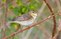 Willow Warbler Stockfotografie