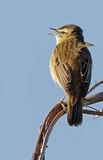 Willow Warbler Stockfotos