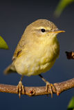 Willow Warbler fotografia de stock