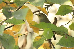 Willow Warbler Images libres de droits