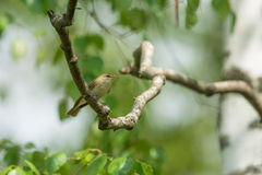 Willow Warbler Royalty-vrije Stock Foto