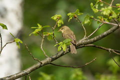 Willow Warbler Fotografie Stock
