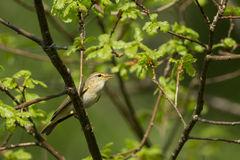 Willow Warbler Stock Afbeelding