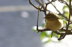 Willow Warbler Stock Foto