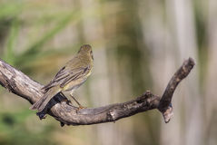 Willow Warbler with Back Detail Stock Image