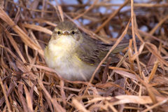 Willow warbler bird Stock Photo