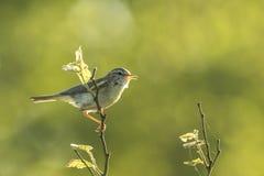 Willow warbler bird, Phylloscopus trochilus Royalty Free Stock Image