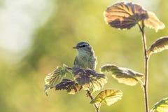Willow warbler bird, Phylloscopus trochilus Royalty Free Stock Photos