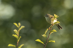 Willow warbler bird, Phylloscopus trochilus Royalty Free Stock Images