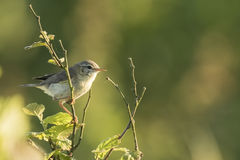 Willow warbler bird, Phylloscopus trochilus Royalty Free Stock Photo