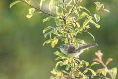 Willow warbler bird, Phylloscopus trochilus Stock Photography