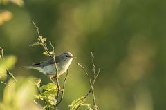 Willow warbler bird, Phylloscopus trochilus Royalty Free Stock Photography