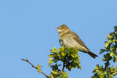 Willow warbler bird, Phylloscopus trochilus Stock Photos
