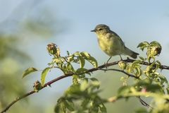 Willow warbler bird, Phylloscopus trochilus, singing. Close-up of a Willow warbler bird, Phylloscopus trochilus, singing on a beautiful summer evening with soft Stock Photos