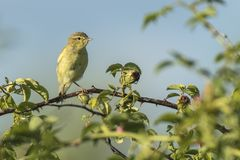 Willow warbler bird, Phylloscopus trochilus, singing. Close-up of a Willow warbler bird, Phylloscopus trochilus, singing on a beautiful summer evening with soft Royalty Free Stock Image