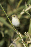 Willow Warbler on the branch  / Phylloscopus trochilus Stock Image