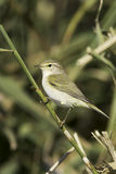 Willow Warbler on the branch  / Phylloscopus trochilus. Willow Warbler on the branch close-up / Phylloscopus trochilus Royalty Free Stock Photo