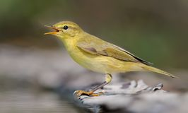 Willow warbler calling loudly near a water pond in summer royalty free stock photo