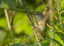 Willow Warbler. With a caterpillar Royalty Free Stock Image