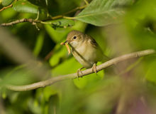 Willow Warbler with a caterpillar. On branch Stock Photography