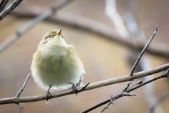 Willow Warbler Chiffchaff op tak wordt neergestreken die Royalty-vrije Stock Foto