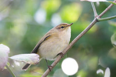 Willow Warbler Chiffchaff perched on branch Royalty Free Stock Photo