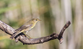 Willow Warbler on Dry Tree Looking Right Stock Image