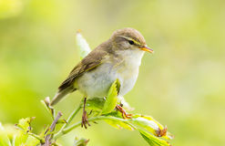 Willow warbler-fitis-Phylloscopus trochilus Ameland Netherlands. A Willow Warbler perching in a bush in The Netherlands Ameland Royalty Free Stock Image