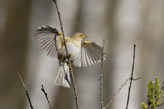 Willow Warbler flapping wings in spring Royalty Free Stock Photo