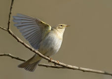 Willow Warbler flapping wings in spring Royalty Free Stock Photography