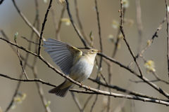 Willow Warbler flapping wings in spring willows Royalty Free Stock Images