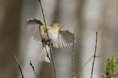 Willow Warbler-Flatternflügel im Frühjahr Lizenzfreies Stockfoto