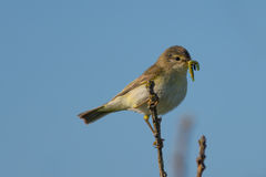 Willow Warbler with food in its beak Stock Photography