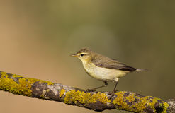 Willow Warbler on a Lichen Wood Stock Photo