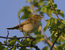 Willow Warbler male sitting on a tree branch. Royalty Free Stock Photos