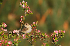 Willow warbler. Phylloscopus trochilus. Royalty Free Stock Photography