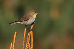Willow warbler. Phylloscopus trochilus. Stock Photography