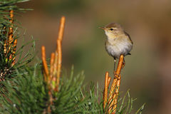 Willow warbler. Phylloscopus trochilus. Stock Photo