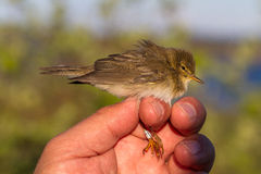 Willow warbler, Phylloscopus trochilus, bird in a womans hand for bird banding Stock Image