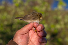 Willow warbler, Phylloscopus trochilus, bird in a womans hand for bird banding Royalty Free Stock Images
