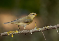 Willow warbler (Phylloscopus trochilus) Stock Photos