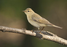 Willow warbler (Phylloscopus trochilus). On the branch of tree Stock Images