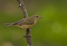 Willow warbler (Phylloscopus trochilus) Stock Image